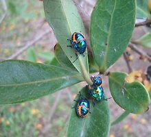 Stink Bugs - Kennedy, North Queensland, Australia by myhobby