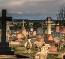 Sheep in the Cemetery - Clifton Qld Australia Sticker