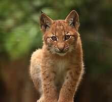Baby Lynx II by Daniela Pintimalli