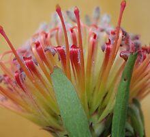 'Sincere' Leucospermum (2) by davidjc