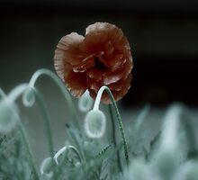 City Poppies by bilyana