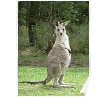 Look at me, young kangaroo at Bombah Point Poster