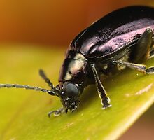 Black Beetle by Andrew Widdowson