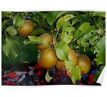 English Russet Apple Poster