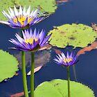 Waterlilly at Brookgreen Gardens by suz01