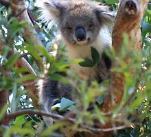 Koala 1 by Rob Chiarolli