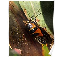 A native cockroach nymph Poster