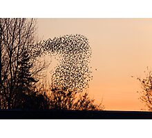 Murmuration of Starlings at Gretna Photographic Print