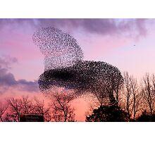 Murmuration of Starlings at Gretna, November 5th 2011 Photographic Print