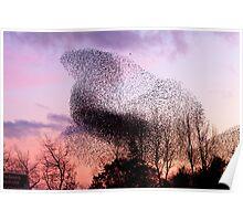 Murmuration of Starlings (3) at Gretna, November 5th 2011 Poster
