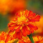 Marigold flower by Shiju Sugunan