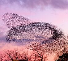Murmuration of Starlings, November 5th 2011 by Jan Fialkowski