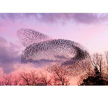 Murmuration of Starlings, November 5th 2011 Photographic Print