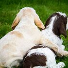 Orange & White & Brown Roan Italian Spinone Puppies by heidiannemorris