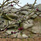 Moorland Christmas Red Berries......Bodmin Moor, Cornwall. by greenstone