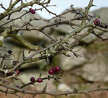 Moorland Christmas Red Berries......Bodmin Moor, Cornwall. by greenstone