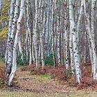 Silver birch wood in autumn by BeardyGit