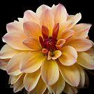 Yellow Dahlia by TyTheTerrible