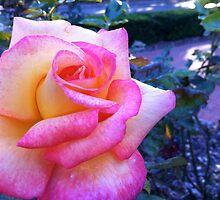 pink-blush rose and evening light. by Shymala Dason