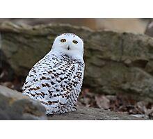 Mellow Yellows - Snowy Owl Photographic Print