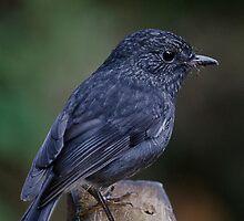 North Island robin on Kapiti by Barry Culling