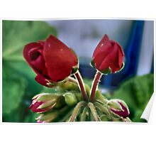 African Violets with red blooms Poster