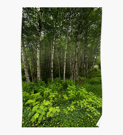 Aspen Trees and Ground Cover Poster