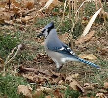 Blue Jay - A Dapper Fellow by Deb Fedeler