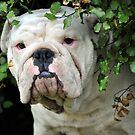 Aussie Bulldog Family by Tammy Howe