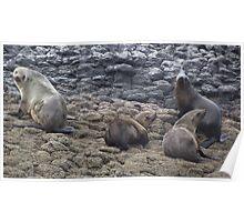 Tasmanian fur seals Poster