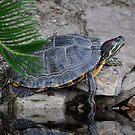 Slider Turtle by Kathy Baccari