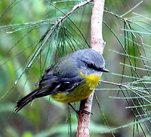 Eastern Yellow Robin by EnviroKey