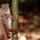 Blue-eyed angle-headed dragon (Gonocephalus liogaster)  by Hannah Nicholas