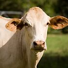 Inquisitive Cow by reflector