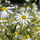Mid Morning Mayweed by Barrie Woodward