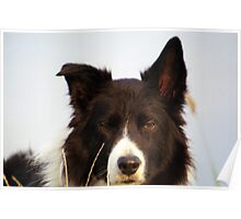 Border Collie Intensity Poster
