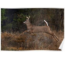 Early Morning Buck 2 - White-tailed Deer Poster