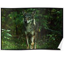 Italian Wolf Poster