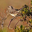 Mockingbird in Salvo by Robin Lee