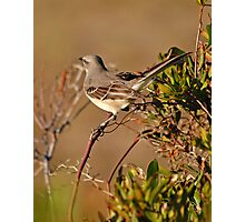 Mockingbird in Salvo Photographic Print