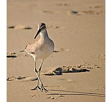 Dainty Willet Photographic Print