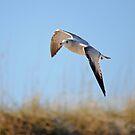 Soaring Gull by Robin Black