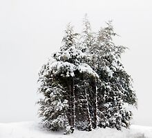 Wintry Cedars by Greg Booher
