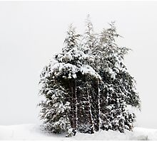 Wintry Cedars Photographic Print