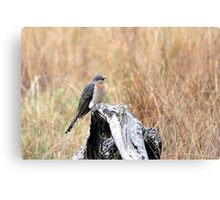 Fan-tailed Cuckoo Canvas Print