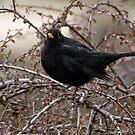 Black bird by Vasil Popov