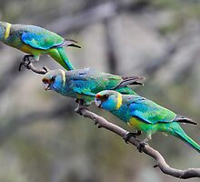 Mallee Ringneck Parrots by John Donkin