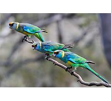 Mallee Ringneck Parrots Photographic Print