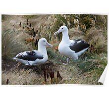 Royal Albatross Poster