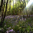 King's Wood by Stuart Chapman